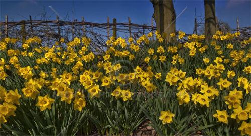 Daffodils #3