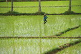 The Rice Fields