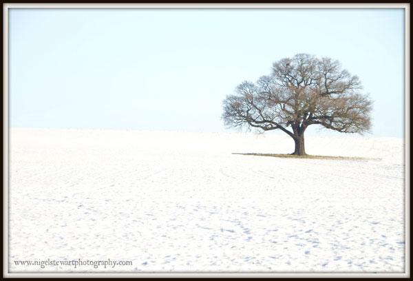 Wintertime Oak