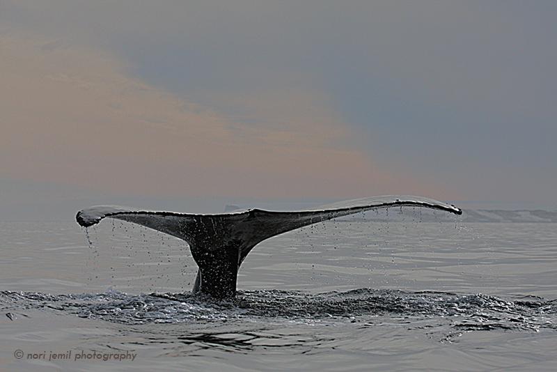 Antarctic Humpback Fluke