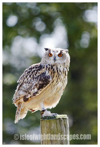 Bengal Eagle Owl.