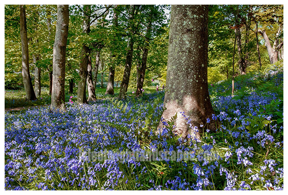 Bluebell Wood Mottistone.