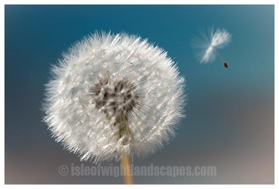 Dandelion, Fly away