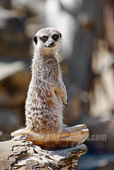 Meerkat at the Seaview Wildlife Encounter .  530