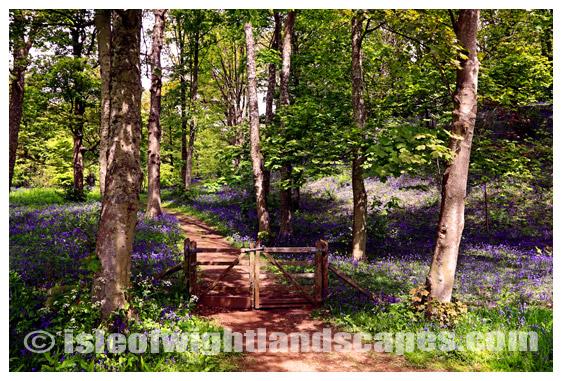 Bluebell Wood Mottistone