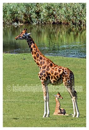 New born 'Olympia' at Marwell Zoo.