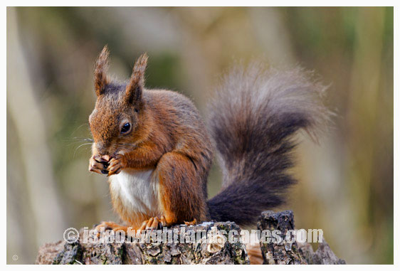 Isle Of Wight Red Squirrel.