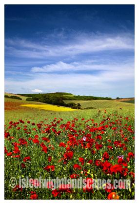 Shorwell Poppy field