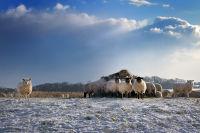 Gazing Sheep