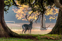 Fallow Deer at Holkham Hall