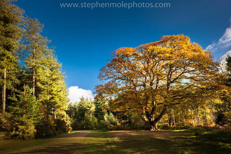 Oak tree in Bacton Woods