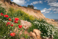 Poppies on the Cliffs