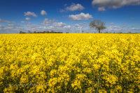 Oil Seed Rape at West Somerton in Norfolk