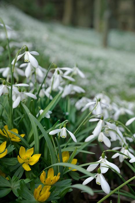 Snowdrops and Aconites
