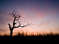 An old tree watches the sunset
