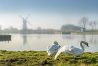Swans at Thurne