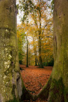 Autumn through tree trunks