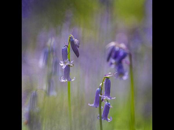 Bluebell Abstract