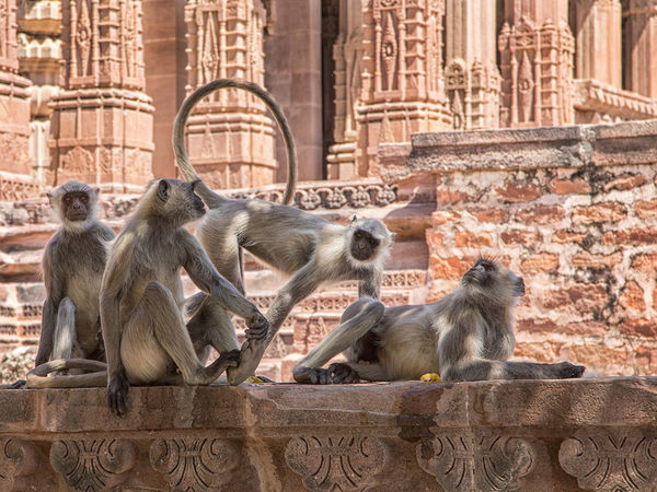 Langur Monkeys at the Temple