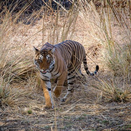Bengal Tiger prowl