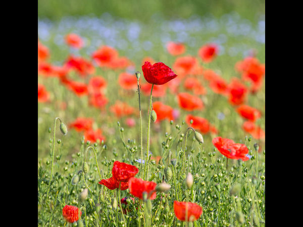 Poppies and Linseed