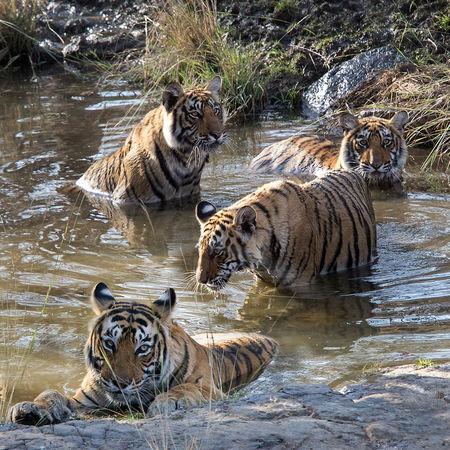 Tigress and Juvenile Cubs