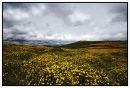 Gorse on Dartmoor in  Late Summer