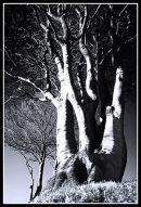 Beech Trees on a Devon Bank - Winter's Evening