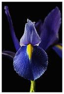 A blue Iris Picture