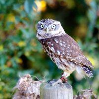 Owl 9