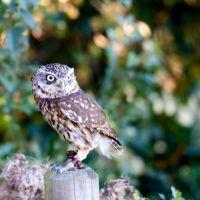 Owl 10