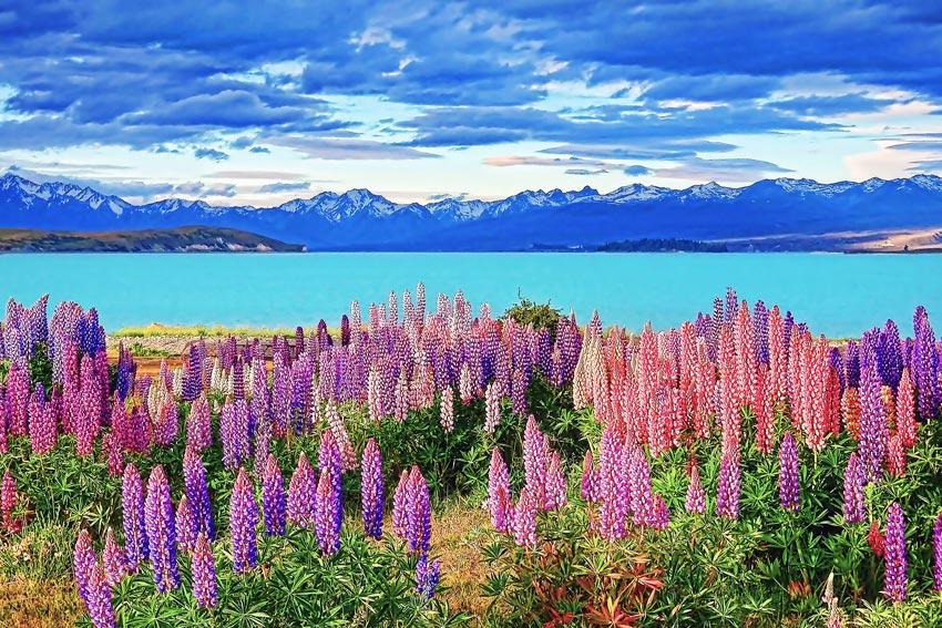 Lupins: Lake Tekapo, New Zealand