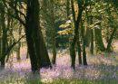 Bluebell wood wonder