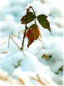 Red and green leaves on snow covered ground