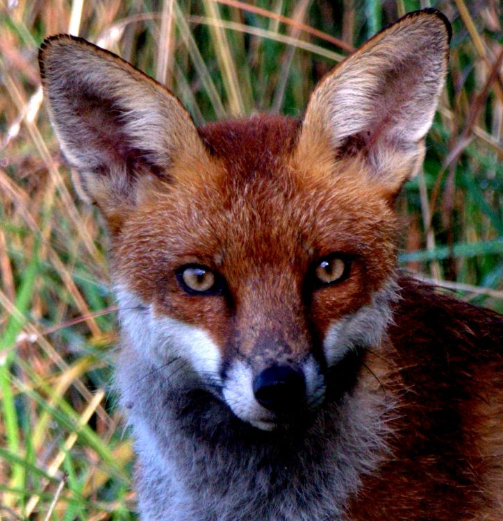 Close up fox