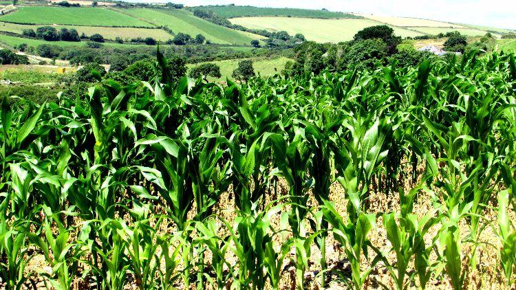Cornfields Cornwall