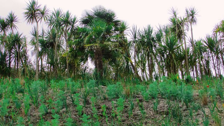 Palms in Cornwall