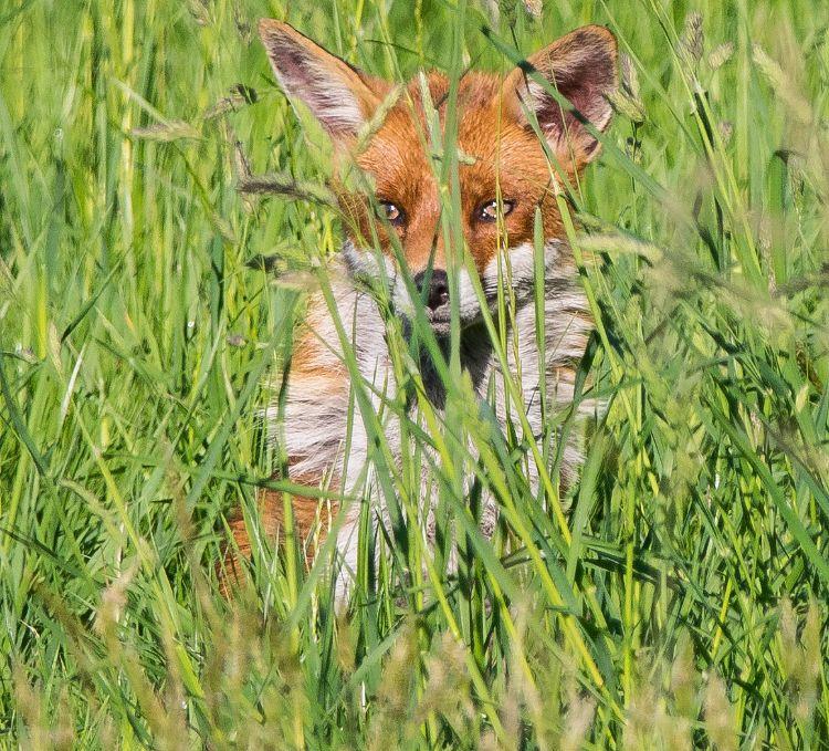 Fox at my garden looking at me looking at him