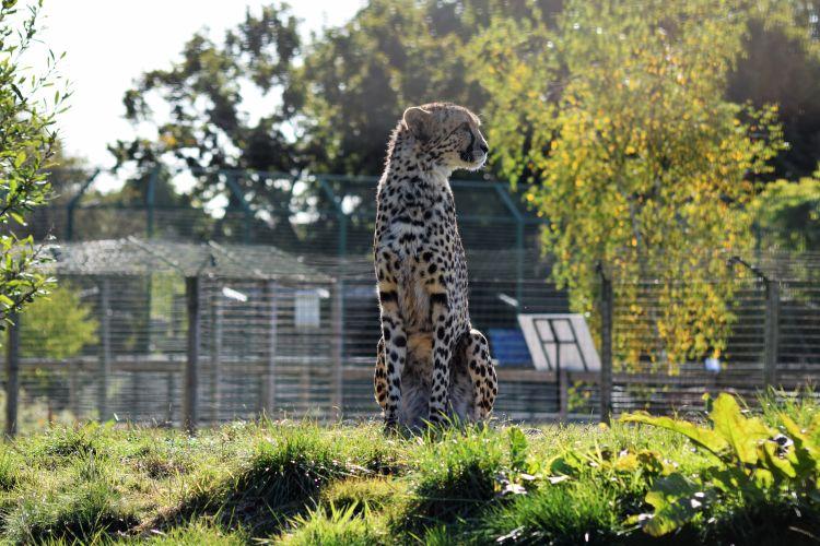 Hello Keene - Cheetah