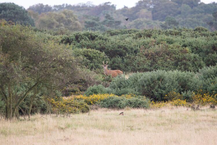 Lone Deer at Minsmere, Suffolk, UK.