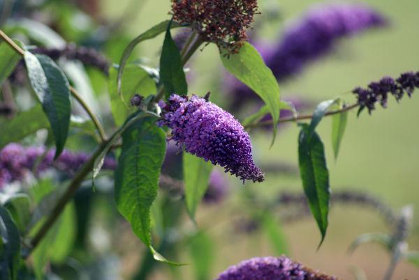My garden - Butterfly bush