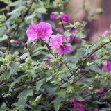 My garden - shrub