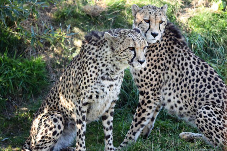 Southern Cheetah