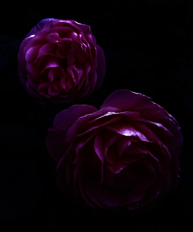 Pink Winter Rose
