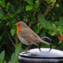 Robin my garden companion