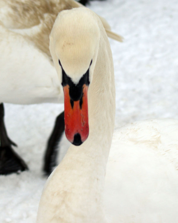 Swan against a white snowy background