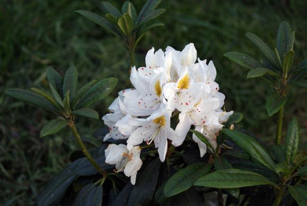 My garden - The white flower