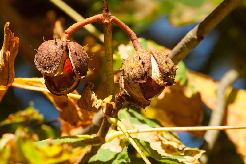 Conkers anyone