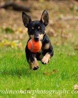 Frank ears with tennis ball