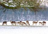 Deer in the Park.
